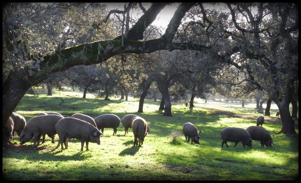 Carne de cerdo ibérico de bellota del campo