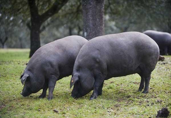 Nuestra paleta es de puro cerdo ibérico de bellota