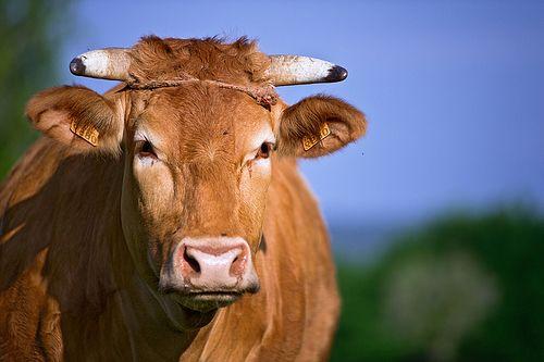 Chuletones de vaca marela