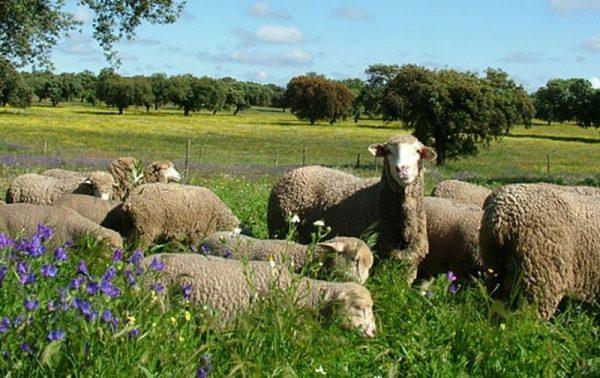 Cordero merino de pastoreo.