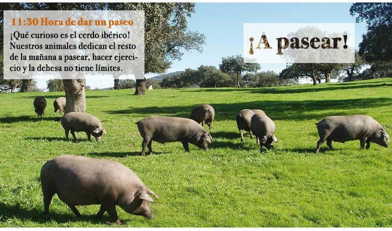EL cerdo pasea buscando alimento.