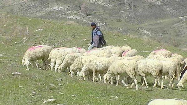 corderos de campo.