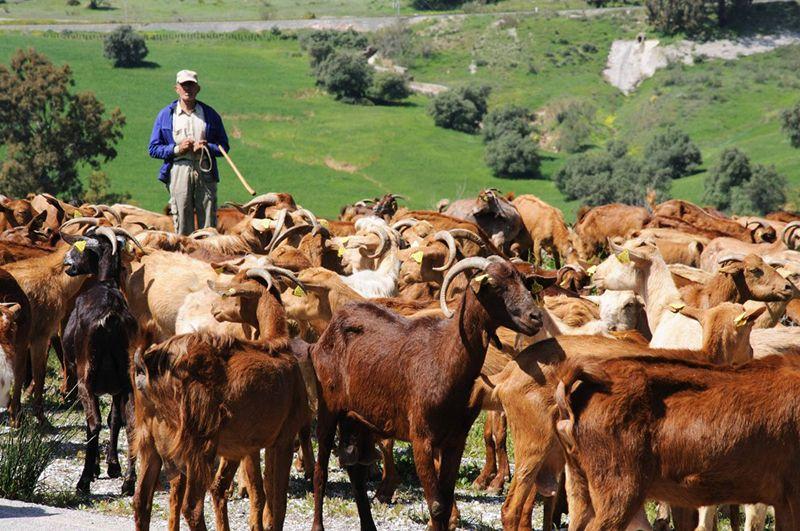 Cabritos criados en al naturaleza en Andalucía.