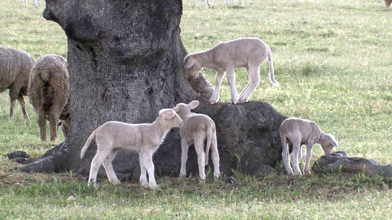 Corderos lechazos pastando.