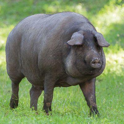 Carne de cerdo ibérico a domicilio.
