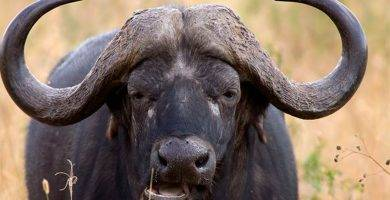 Carne de búfalo.