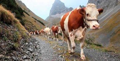 Comprar carnes de vaca simmental alemana.