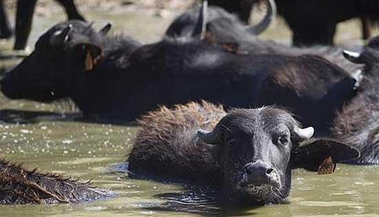 Los búfalos son criados en semilibertad