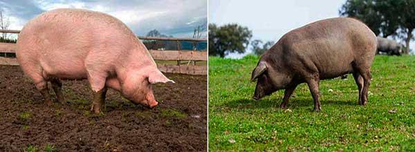 Color de piel del cerdo blanco e ibérico