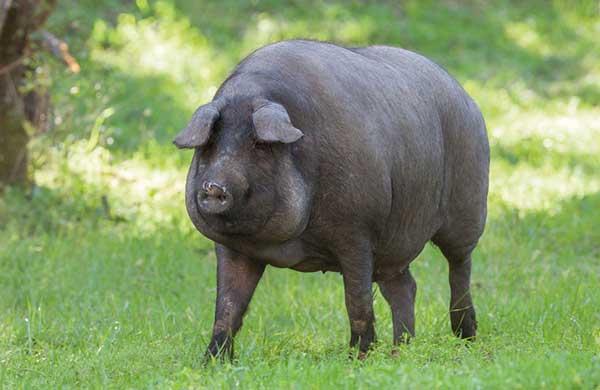 Cerdo Ibérico de la Montanera