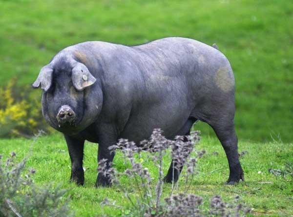 Cerdo de raza ibérico diferente al cerdo blanco
