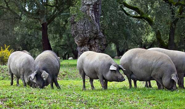 Alimentación del cerdo ibérico de bellota