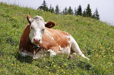 vaca babiera para parrilla