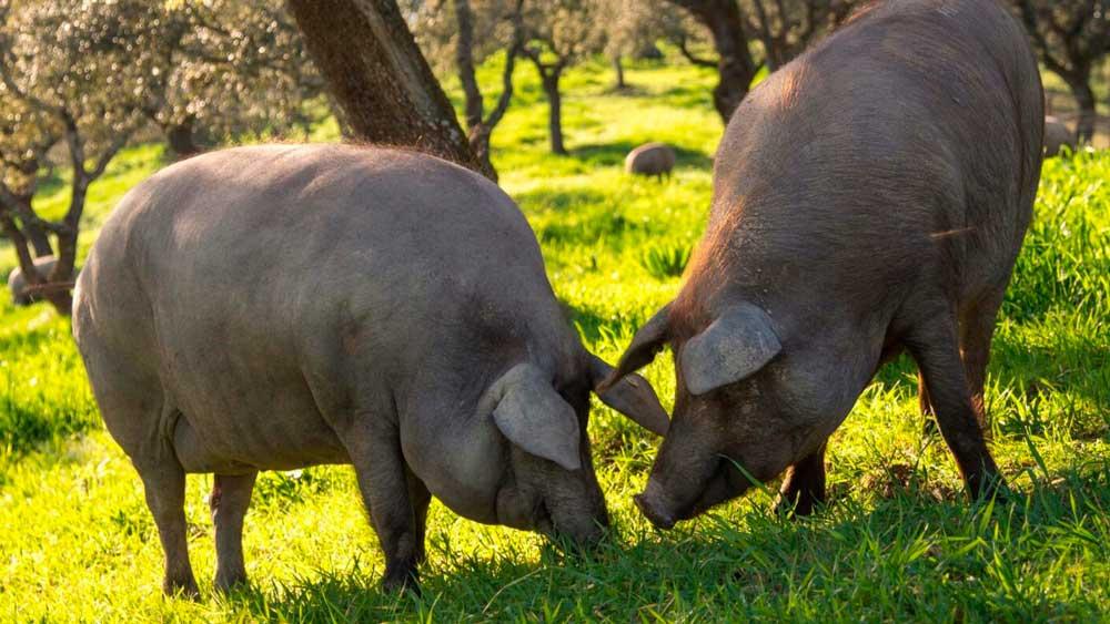 El abanico se obtiene del cerdo ibérico.