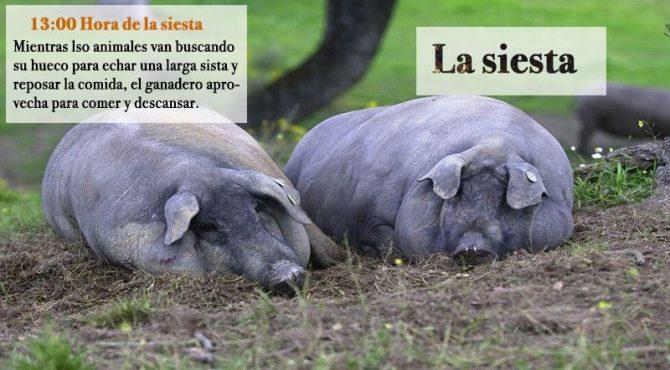 Cerdos echando la siesta