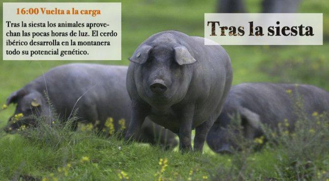El cerdo ibérico camina después de la siesta.